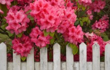 Rhododendron and Fence - Reedsport - Oregon