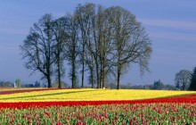Tulip Field in Bloom - Oregon