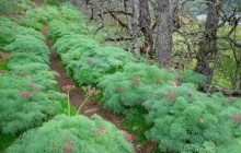 Trail Through Lomatium - Tom McCall Nature Conservancy - Oregon