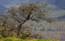 Stately Oak - Columbia River Gorge - Oregon