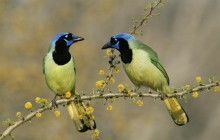 Green Jays - Texas