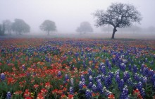 Indian Paintbrush Bluebonnets and Live Oak In Fog - Texas