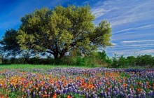 Live Oak Among Texas Paintbrush and Bluebonnets - Texas