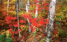 Maples - Ash - and Birch Trees in Autumn - Vermont