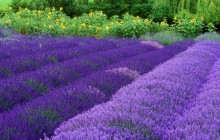 Purple Haze Lavender Farm HD wallpaper - Washington