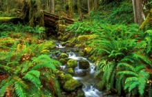 Rainforest Stream - Olympic National Park - Washington