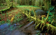 Quinault Rainforest - Olympic Park - Washington