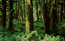 Quinault Rainforest - Washington