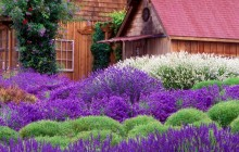 Purple Haze Lavender Farm - Sequim - Washington