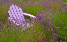 Resting in a Field of Lavender - Sequim - Washington