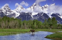 Moose Wading in a River - Grand Teton Park - Wyoming