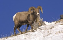 Bighorn Sheep - Yellowstone National Park - Wyoming