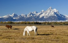 Grazing Horses - Grand Teton Park - Wyoming