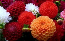 Dahlias bouquet wallpaper - Bouquets
