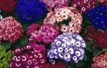 Colorful Cinerarias bouquets - Bouquets