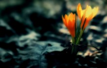 Crocus flowers dark wallpaper - Crocuses