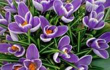 Wild crocus wallpaper - Crocuses