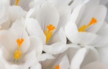 White crocus wallpaper - Crocuses