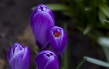 Purple crocus flower buds wallpaper - Crocuses