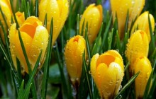 Yellow crocuses wallpaper