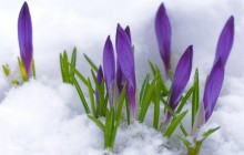 Crocuses under the snow wallpaper - Crocuses