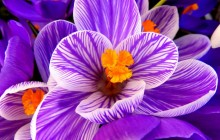 Crocus bloom wallpaper - Crocuses