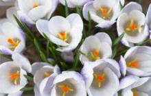 White crocuses wallpaper