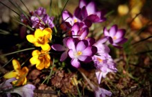 Crocuses HD wallpaper - Crocuses