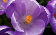 Purple crocus flowers wallpaper - Crocuses