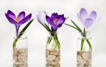 Crocus flower images - Crocuses