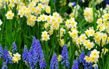 Daffodils and muscari flowers wallpaper - Daffodils