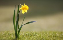 Daffodil wallpaper