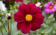 Deep red dahlia wallpaper - Dahlias
