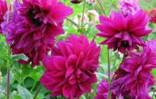 Pictures of dahlias - Dahlias