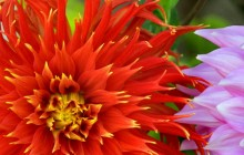 Colorful dahlias image - Dahlias