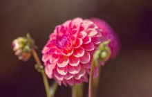 Dahlia wallpaper - Dahlias