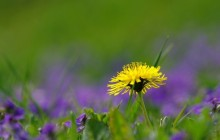 Dandelion HD wallpaper - Dandelions