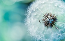 Dandelion wallpapers - Dandelions