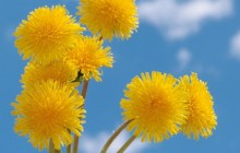 Yellow dandelions wallpaper - Dandelions