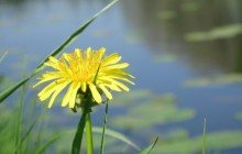 Dandelion flower wallpaper - Dandelions