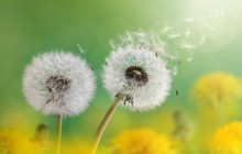 Dandelion flowers wallpaper - Dandelions