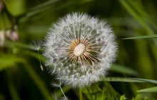 Dandelion clock wildflower wallpaper - Dandelions