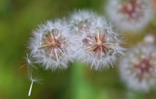 Dandelion heads wallpaper - Dandelions