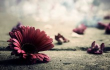 Gerbera flower wallpaper - Gerberas