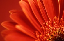 Red gerbera daisy images