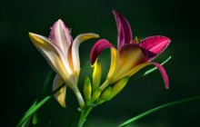 Daylilies wallpaper