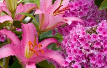 Lilies and phlox wallpaper - Lilies