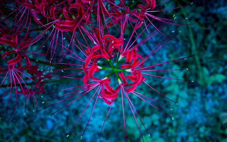 Lycoris, red spider lily wallpaper