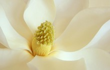 Magnolia blossom wallpaper