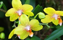 Yellow Orchids wallpaper - Orchids